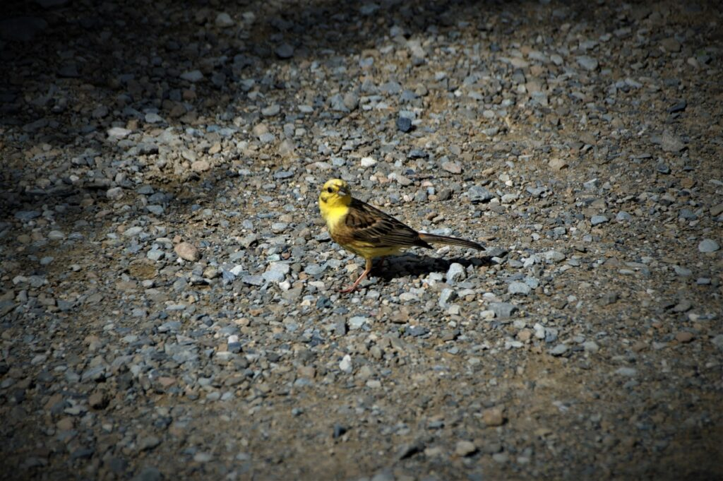 A Yellowhammer